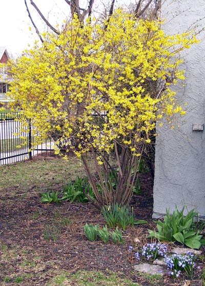 There are lots of other flowers in bloom near the Forsythia, including some small blue and white ones I didn't recognize.