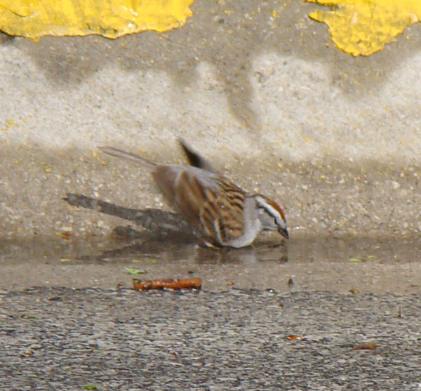 Chipping Sparrow taking a bath in the gutter on South Elmwood.