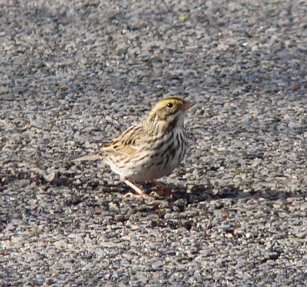 We spotted on Savannah Sparrow on the street, the first we had ever seen on our block.