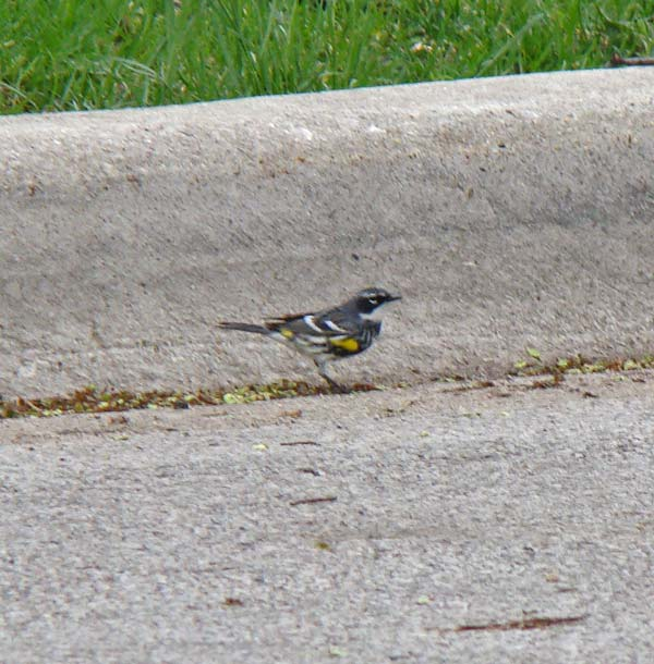 A male Yellow-rumped Warbler searching for food in the gutter on our street.