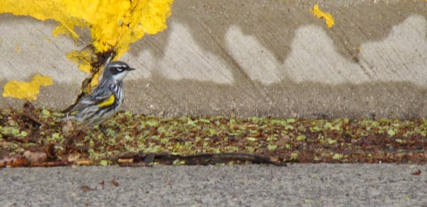 A Yellow-rumped Warbler searches for bugs in a gutter filled with Elm seeds.