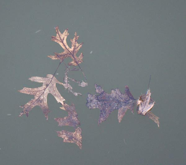 Leaves on Lake. Photo by Ethan Gyllenhaal.