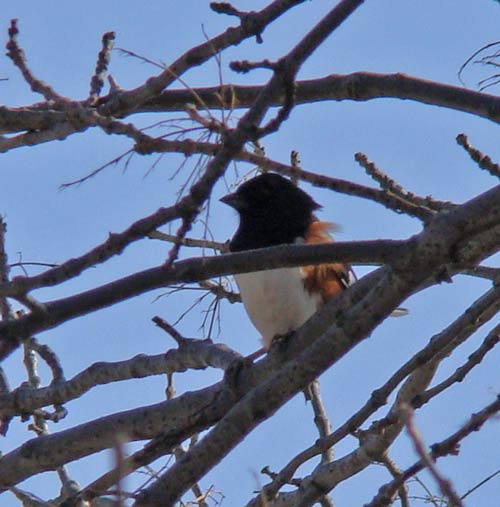 This Eastern Towhee was watching us from a small tree at the University of Illinois Swine Research Unit.