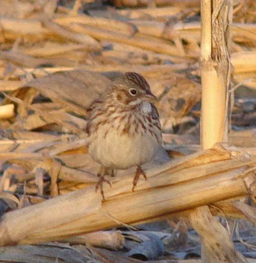 Vesper Sparrow posing on a stalk of corn stubble in a field near Clinton Lake, Illinois. Photo by Ethan Gyllenhaal.