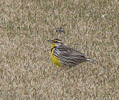 Eastern Meadowlark in a sod farm field near Momence, Illinois. Photograph by Ethan Gyllenhaal.