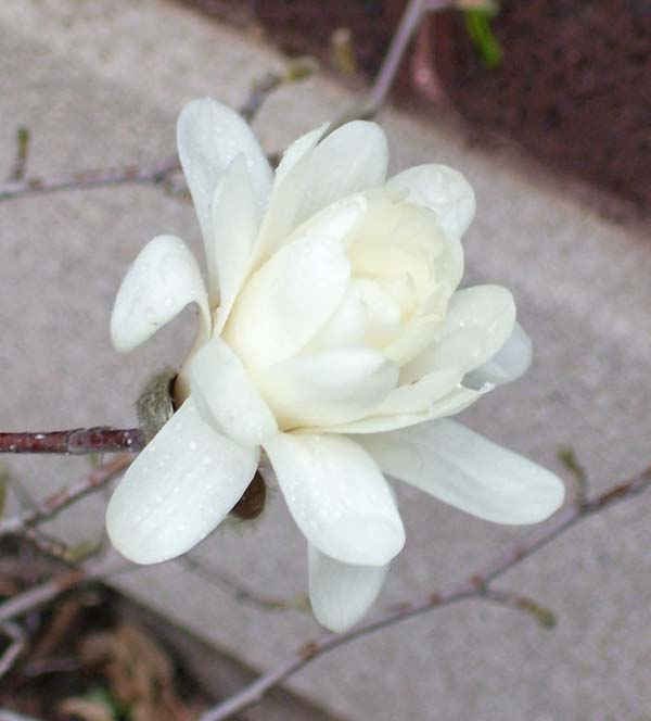 This Star Magnolia flower grows on a small buish.