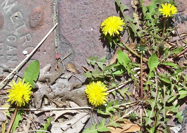 Yes, Dandelions are back, too -- another sure sign of spring.