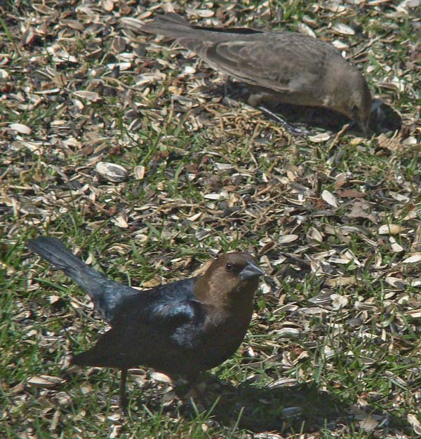 The male Borwn-headed Cowbird is glossy black with a brown head. The female is dull grey-brown.