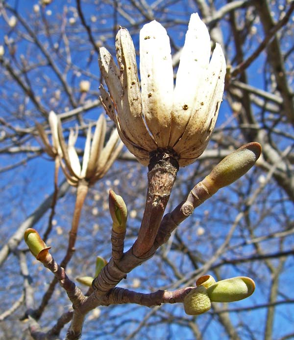 This year's opening buds are below, the dry husks of last year's fruits are above.