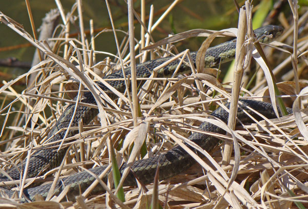 This Garter Snake was soaking up the sun beside the lake.