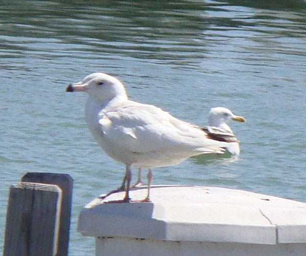 First-year Glaucous Gull on the docks at North Point Marina. (Another gull is right behind it.)