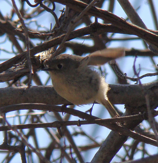 Ruby-crowned Kinglet flicking its wings in a tangle of branches.