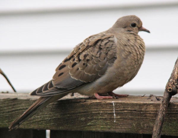 Here's one way you can tell it's a fledgling Mourning Dove and not an adult: The outer tips of the body feathers are fringed with contrasting colors, giving it a scaled look.