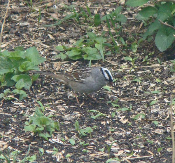 Adult White-crowned Sparrows have a black-and-white cap, but NO white chin and NO yellow in front of the eye. Photo by Ethan Gyllenhaal.