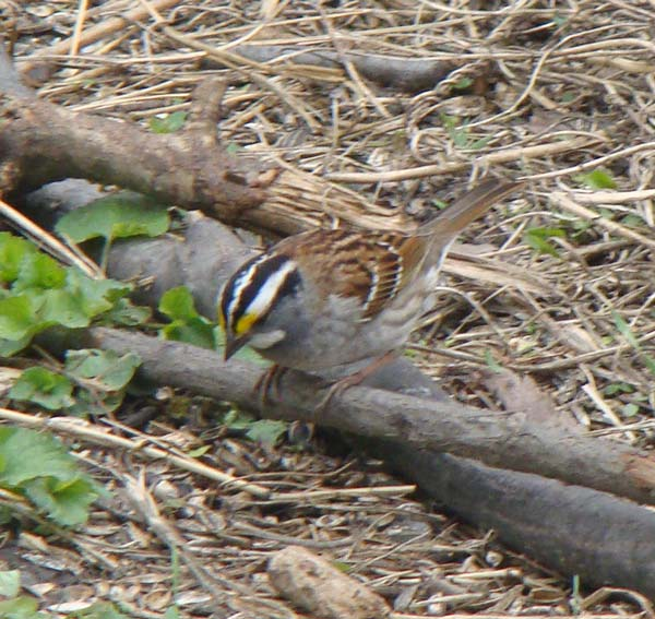 Adult White-throated Sparrows have a white chin, black-and-white cap, and a bit of yellow in front of the eye.
