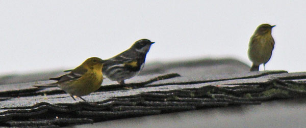 They've shoift positions -- now it's Pine, Yellow-rumped, and Palm Warbler.