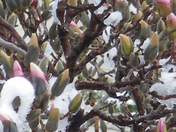 Magnolia buds in the snow during our March 29 snow storm.