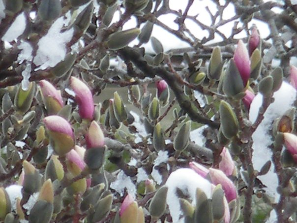 Magnolia buds in the snow. Photo by Nancy Soro.