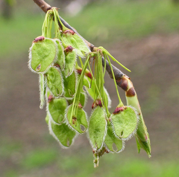 On April 28th these rounded American Elm seeds were ripening, but the leaf bud on the tip of the twig was just starting to open.
