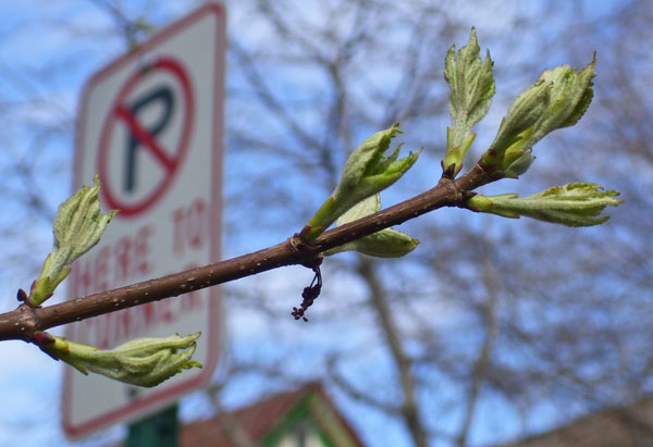 On April 28th, the male Red Maple had opening leaves, but no flowers and no seeds.