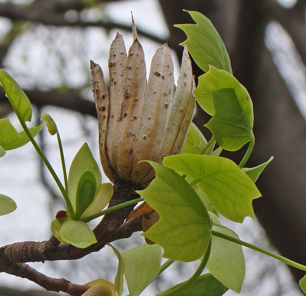 The Tulip Tree buds have opened, revealing expanding leaves around the remains of last year's fruits.