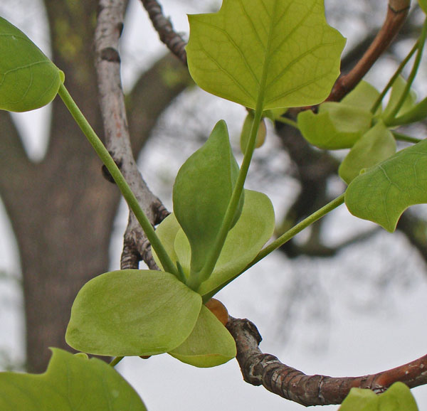 We're wondering if the Tulip Tree's flower will emerge from the almond-shaped thing in the center of the photo.