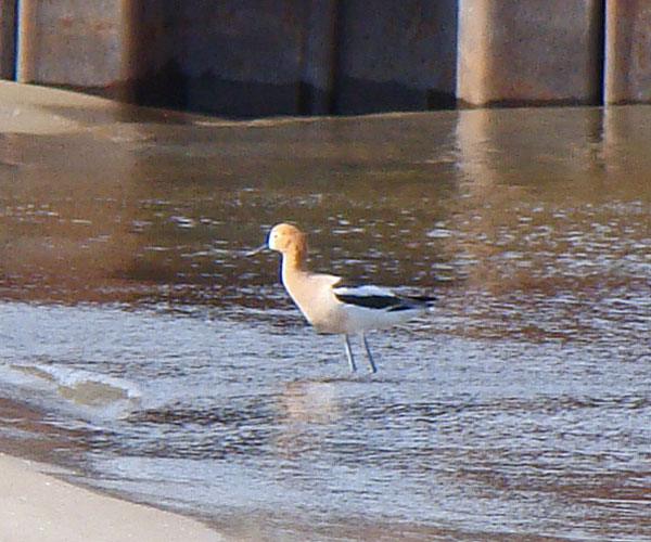 The American Avocet mostly sttod or swam in sahllow water. It did not feed while we were watching. Photo by Ethan Gyllenhaal.