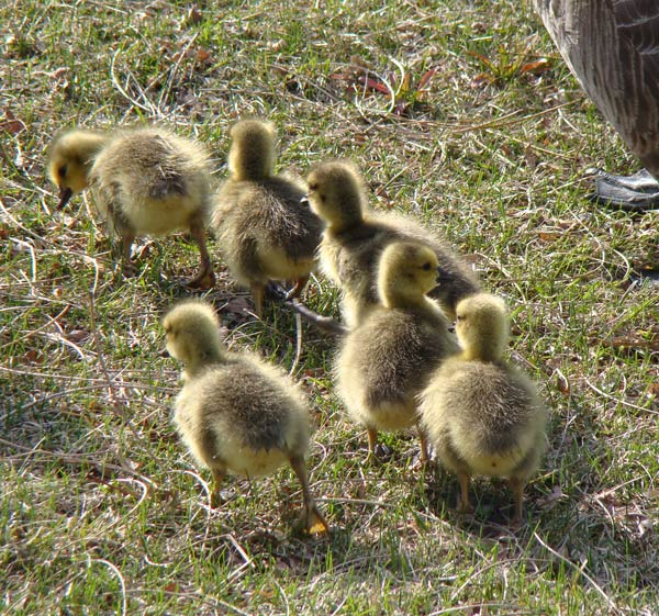 These hatchling Canada Geese were with their parents at North Point Marina. Photo by Ethan Gyllenhaal.