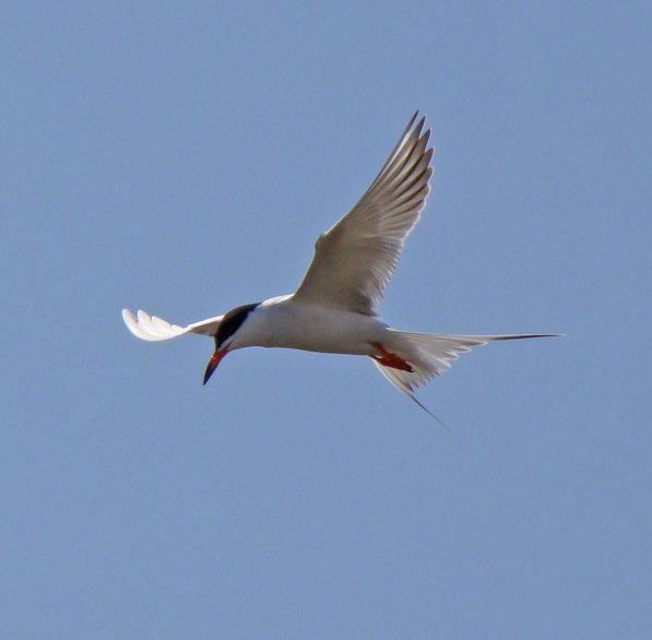 Note the white on the tip of the outer wing -- a clue that this is a Forster's Tern (and not a Common Tern). Photo by Ethan Gyllenhaal.
