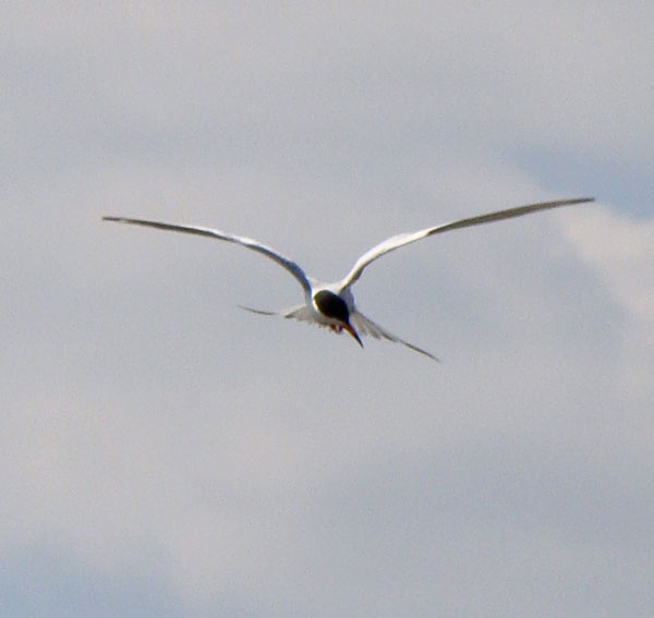 Forster's Tern hovering while looking for a fish. Photo by Ethan Gyllenhaal.