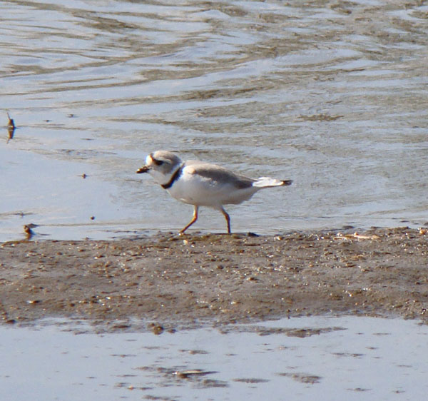 The Piping Plover seemed to be picking bugs out of the mud. Photo by Ethan Gyllenhaal.