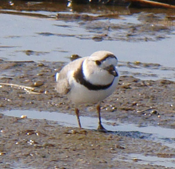 Look at the legs. We saw no leg bands on any of our photos. This individual was not banded as part of the continuing research conducted on this endangered species. Photo by Ethan Gyllenhaal.