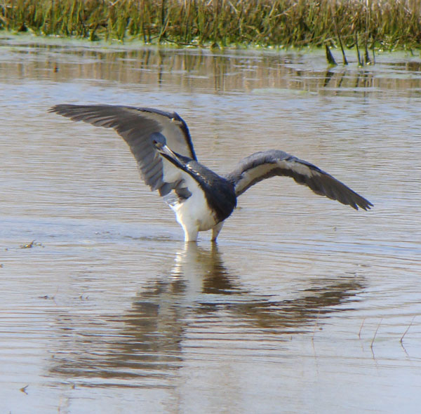 Tricolored heron fishing. Photo by Ethan Gyllenhaal.