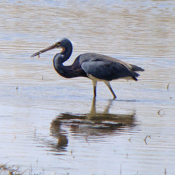 The Tricolored Heron finally caught a fish! Photo by Ethan Gyllenhaal.