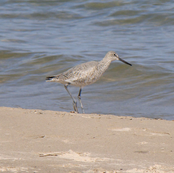 Note the Willet's stout bill, short neck, and relatively plain coloration. Photo by Ethan Gyllenhaal.