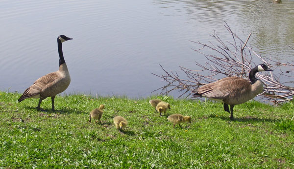 The mother and father geese watched me and made sure I stayed far away from their babies.