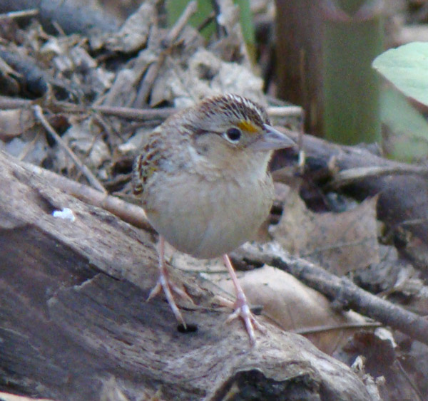 Frontal view of the Thatcher Woods mystery sparrow.