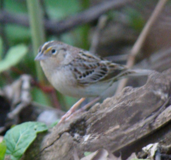 Side view of the Thatcher Woods mystery sparrow.