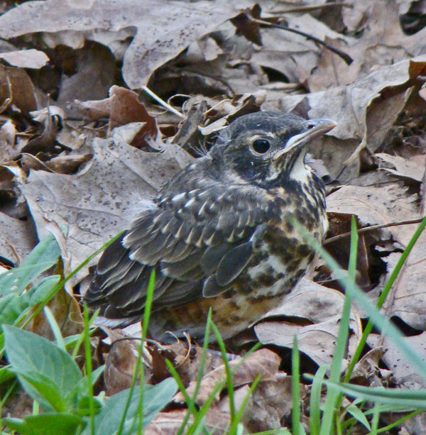 The baby Robin looked helpless and all alone, but we could hear its parents making clucking sounds in the tree behind us. They were protecting it and would probably feed it as soon as we walked away.