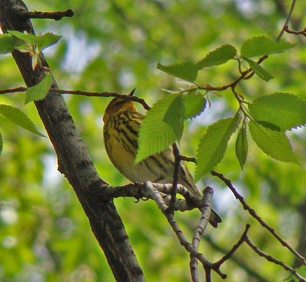 Cape May Warbler, only partly obscured by elm leaves. (I like this warbler more than most, because it's named after the place where my family went to the seashore when I was young.)