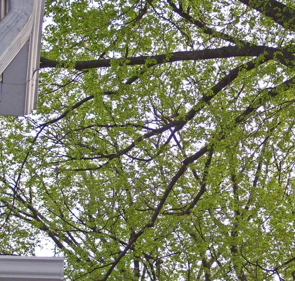 When we look up from our front stoop, we see the banches and opeing leaves of our American Elms.