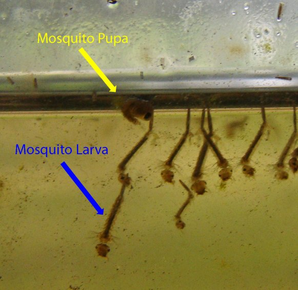 The yellow arrow point to a Mosquito pupa, the blue to one of many Mosquito larvae.