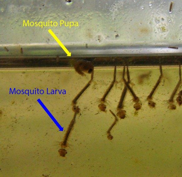 Mosquito larva in pond - photo#19
