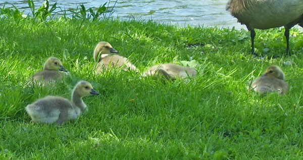 The baby geese looked like they weighed about twice as much as they had two weeks before (but we didn't try to pick them up).