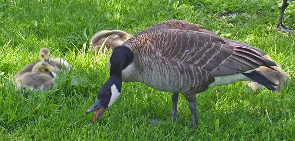 The parent Canada Geese are very protective -- if you get too close to their babies, they'll chase you away!