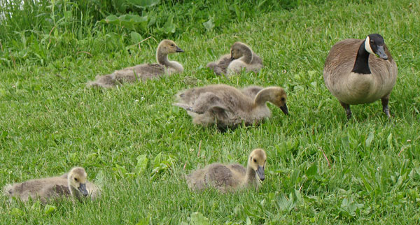These baby Canada Geese are about four weeks old. One parent watches over them while the other chases off snother goose.