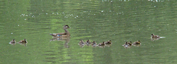 The mother Wood Duck watched her eleven babies -- and me.