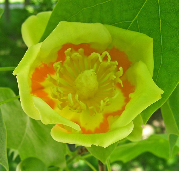 The Tulip Tree flower has lots of male parts surrounding a cone-shpaed mass of female parts.