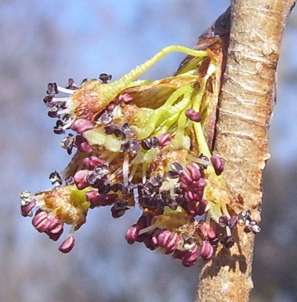 On Americna Elm flowers, the male parts stick out, and the female ones are hidden.