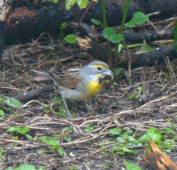 The balck and yellow breast, yellow-and-white eye stripe, and gray on the side of the neck identify this as an adult male Dickcissel.